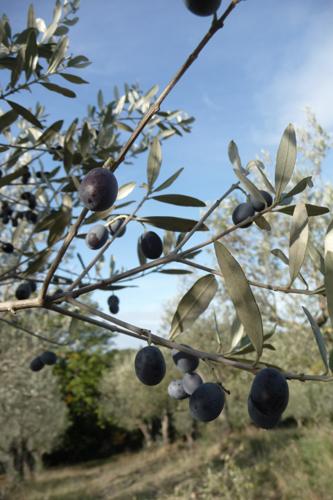 オリーブの収穫方法_f0106597_18433880.jpg