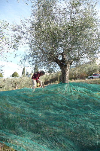 オリーブの収穫方法_f0106597_1845599.jpg