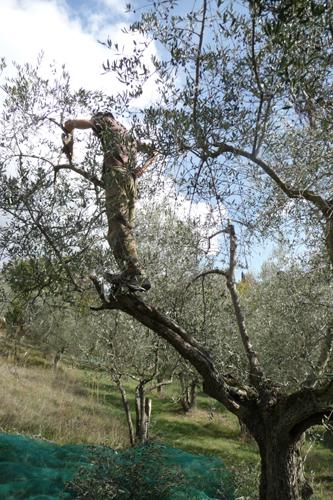 オリーブの収穫方法_f0106597_18461764.jpg