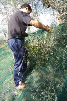 オリーブの収穫方法_f0106597_18482041.jpg