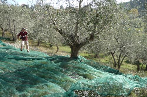 オリーブの収穫方法_f0106597_18494751.jpg