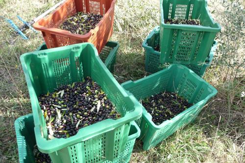 オリーブの収穫方法_f0106597_18542378.jpg