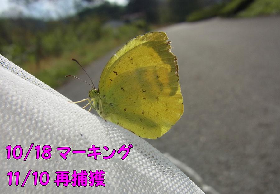 夏型キタキチヨウ_e0253104_11554130.jpg