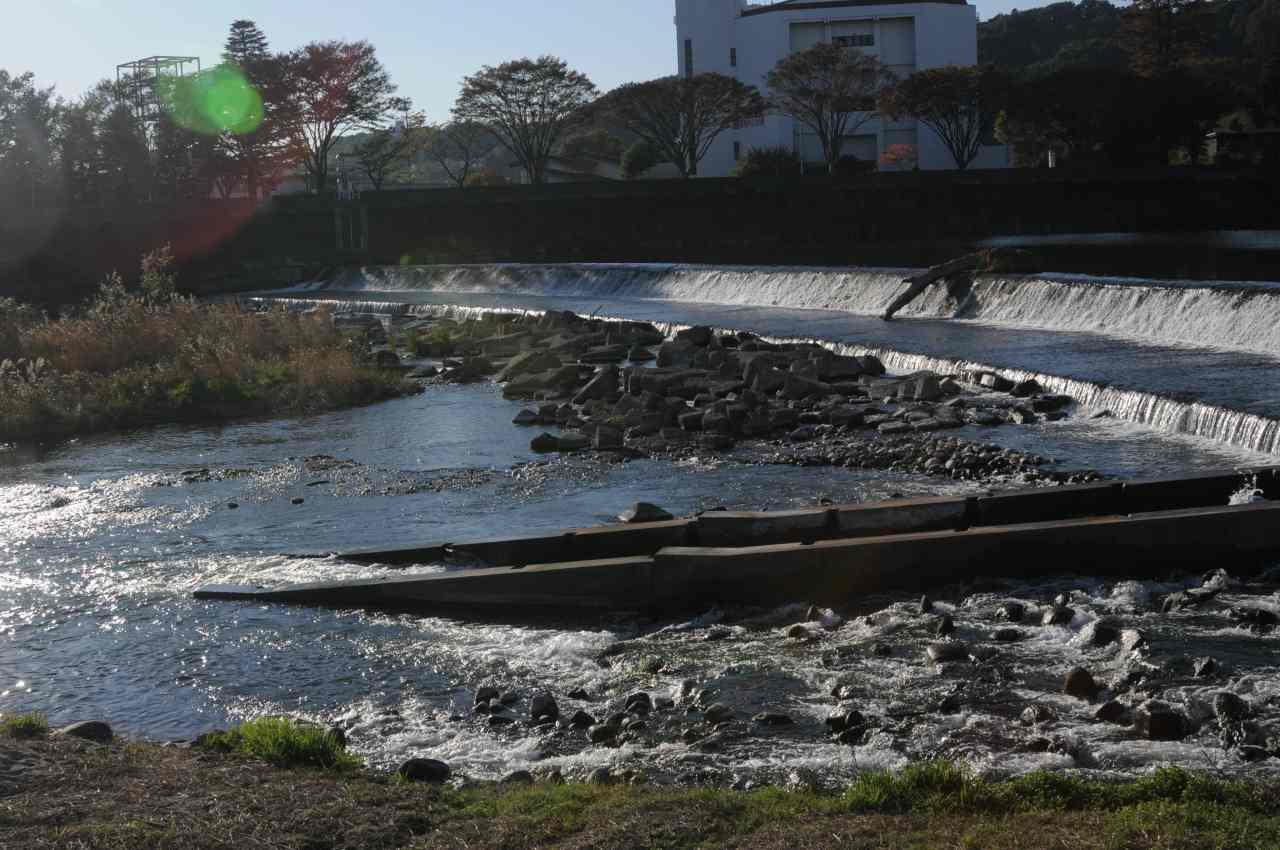 広瀬川のサケと再会_a0148206_9412017.jpg