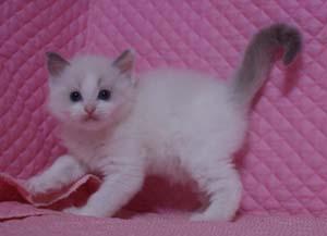 家族募集 子猫 ラグドール 5週目になりました_e0033609_1710108.jpg