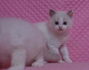 家族募集 子猫 ラグドール 5週目になりました_e0033609_17101665.jpg