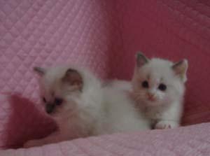 家族募集 子猫 ラグドール 5週目になりました_e0033609_17102210.jpg