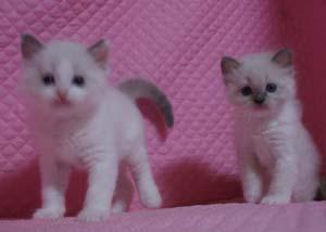 家族募集 子猫 ラグドール 5週目になりました_e0033609_17102715.jpg