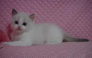 家族募集 子猫 ラグドール 5週目になりました_e0033609_1710527.jpg