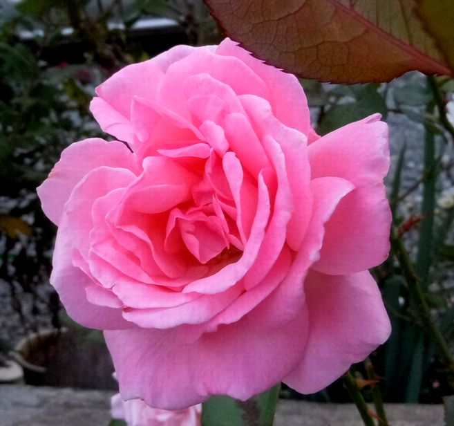 山芋 ピンク