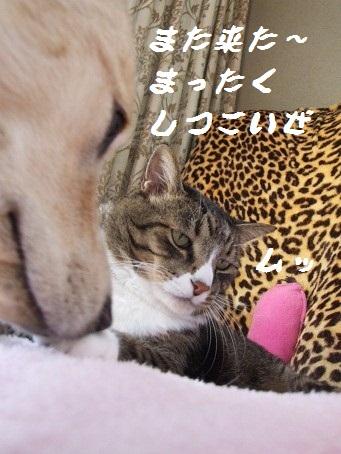 犬に愛される猫。。。_b0089338_127524.jpg