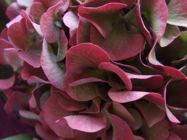 オークリーフ(赤い紫陽花をお誕生日に束ねて・・・)_f0049672_1413317.jpg