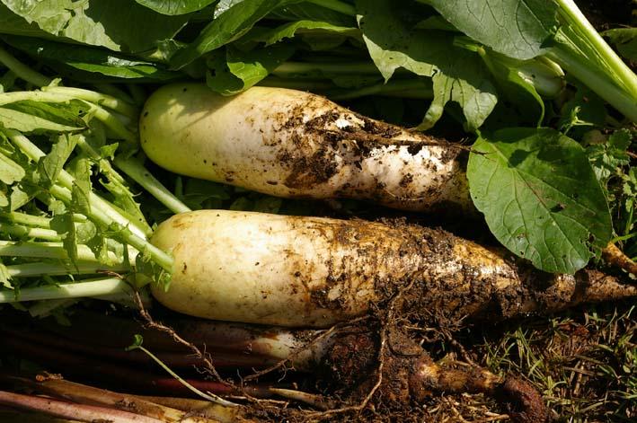 ダイコンとヤツガシラを今秋、初収穫!(2011・11・12)_c0014967_184515.jpg