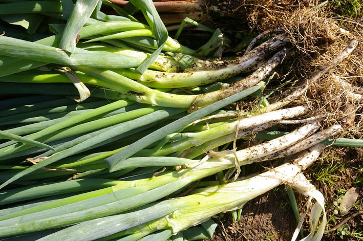 ダイコンとヤツガシラを今秋、初収穫!(2011・11・12)_c0014967_1875456.jpg
