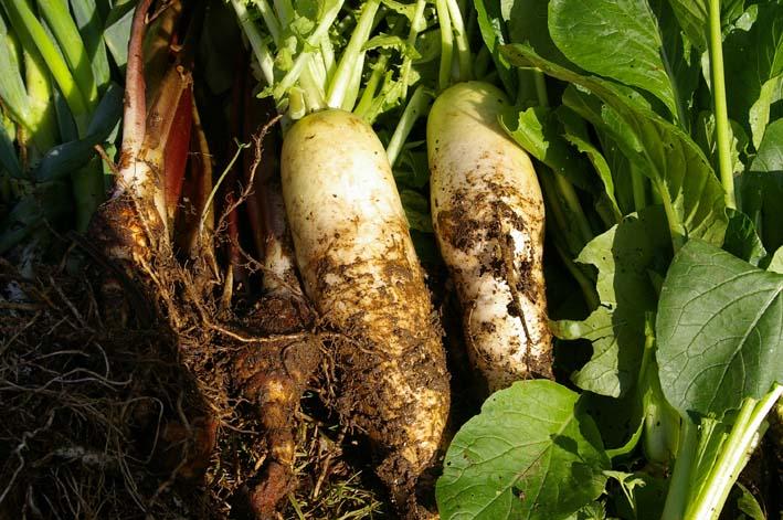 ダイコンとヤツガシラを今秋、初収穫!(2011・11・12)_c0014967_189254.jpg