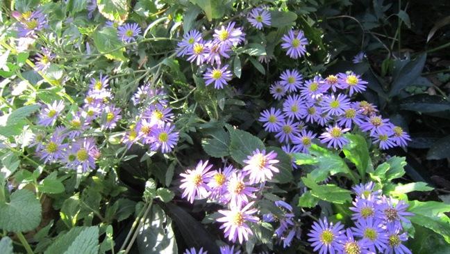 庭の野菊_b0214473_16431762.jpg