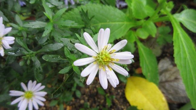 庭の野菊_b0214473_16453374.jpg