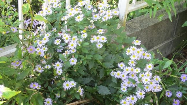 庭の野菊_b0214473_1647151.jpg