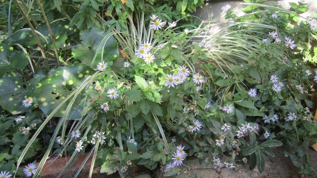 庭の野菊_b0214473_16472832.jpg