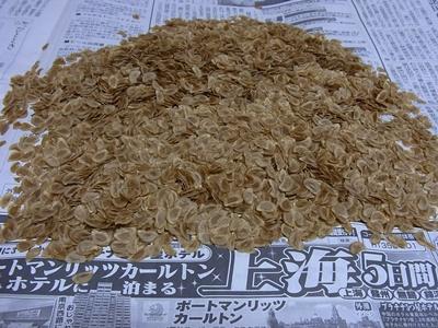 タカサゴユリの種