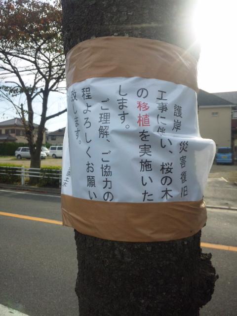 桜の移植_c0172504_1353042.jpg