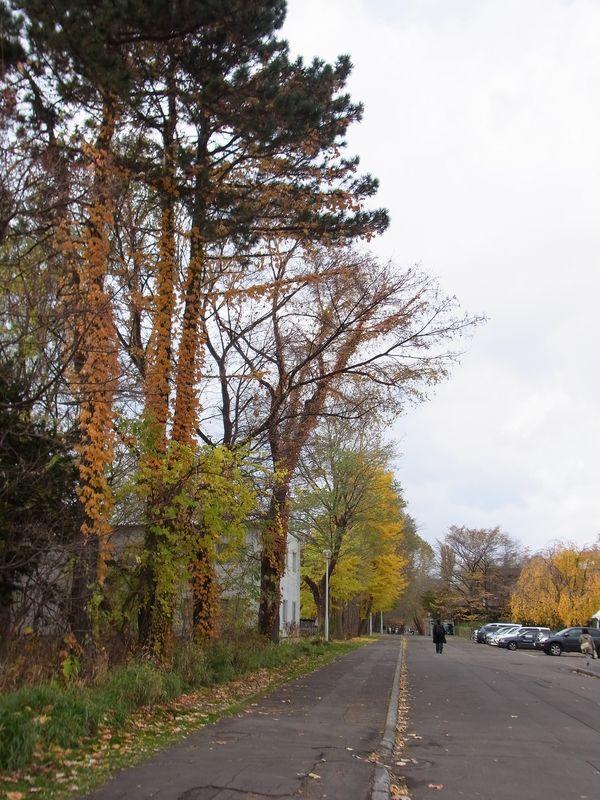 今年はポプラの黄葉がきれい_c0025115_1822294.jpg