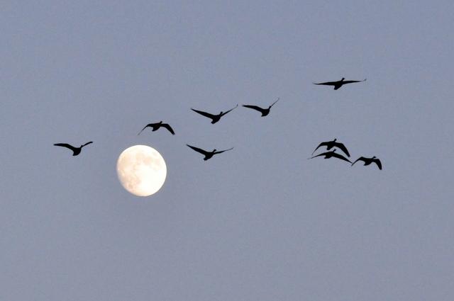 夕陽に白鳥 月に菱食。_b0165760_20152371.jpg