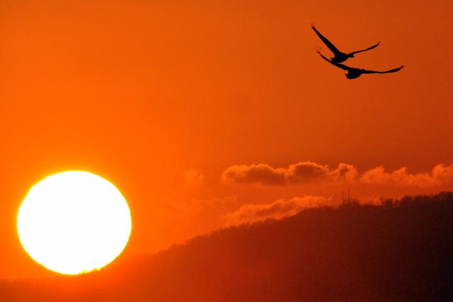 夕陽に白鳥 月に菱食。_b0165760_2021316.jpg