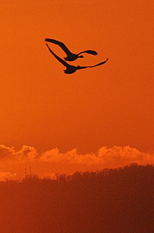夕陽に白鳥 月に菱食。_b0165760_20224575.jpg