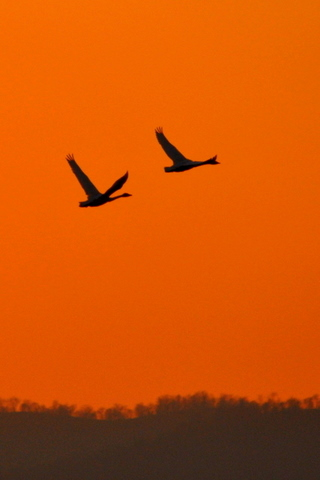 夕陽に白鳥 月に菱食。_b0165760_2023836.jpg
