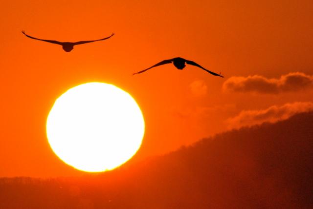 夕陽に白鳥 月に菱食。_b0165760_2071059.jpg