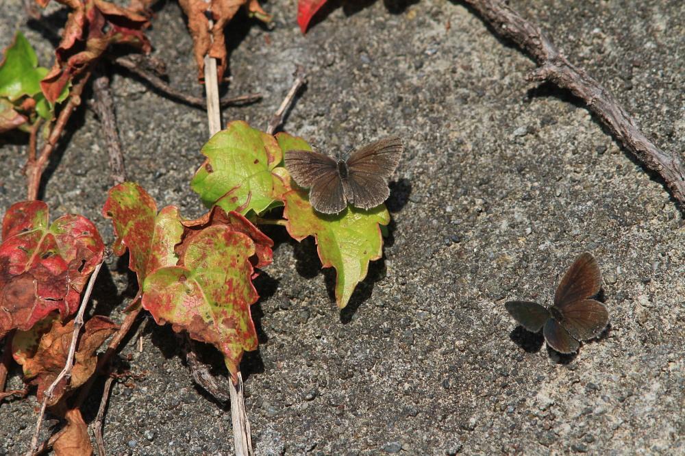 クロツバメシジミ  念願の羽化直ぶよぶよ体に逢える。 2011.11.13埼玉県_a0146869_6261658.jpg
