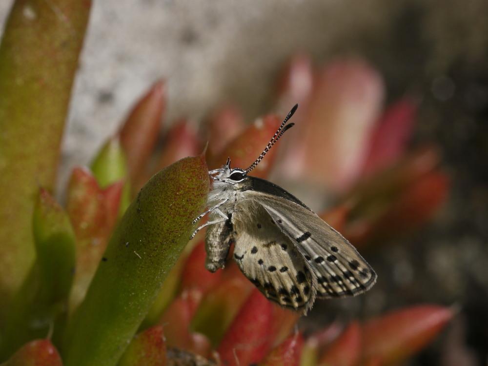 クロツバメシジミ  念願の羽化直ぶよぶよ体に逢える。 2011.11.13埼玉県_a0146869_631141.jpg
