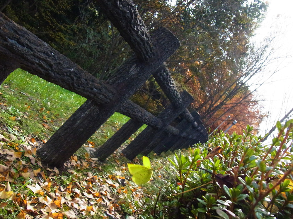 クロツバメシジミ  念願の羽化直ぶよぶよ体に逢える。 2011.11.13埼玉県_a0146869_6323036.jpg