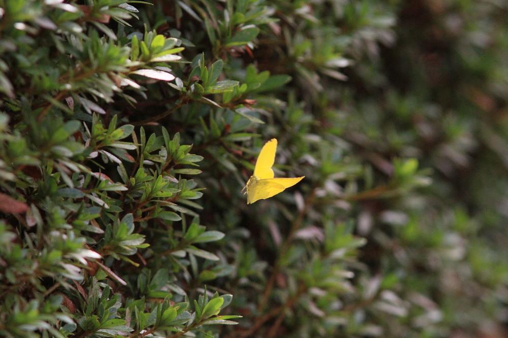 クロツバメシジミ  念願の羽化直ぶよぶよ体に逢える。 2011.11.13埼玉県_a0146869_633866.jpg