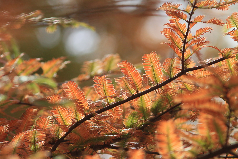 クロツバメシジミ  念願の羽化直ぶよぶよ体に逢える。 2011.11.13埼玉県_a0146869_634168.jpg