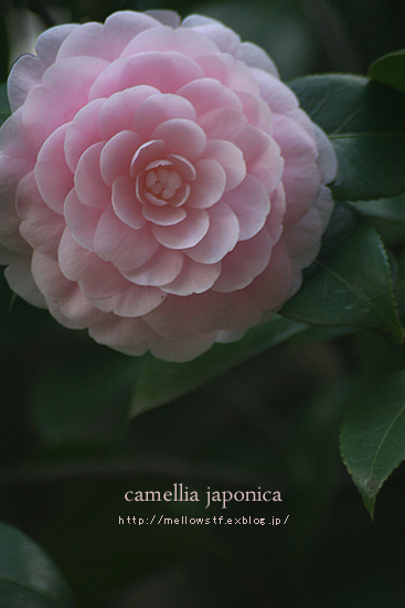 ダイヤモンド・リリーとピンクのお花。_d0124248_20393234.jpg