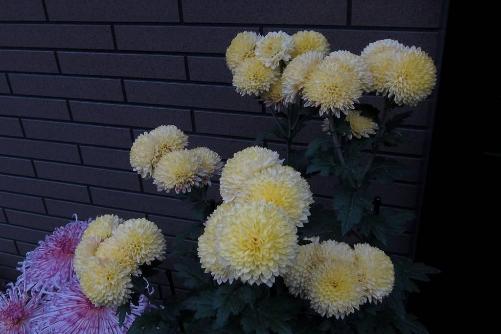 羽模様の変わったコガモ/我が家の菊花展_b0024798_9392241.jpg
