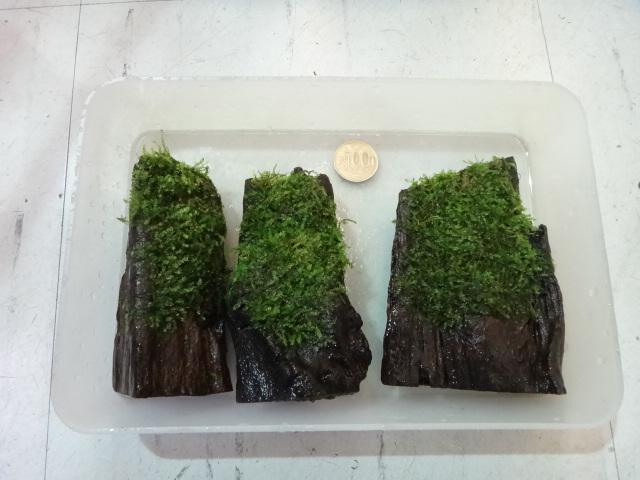 熱帯魚・水草・金魚_f0189122_13222617.jpg