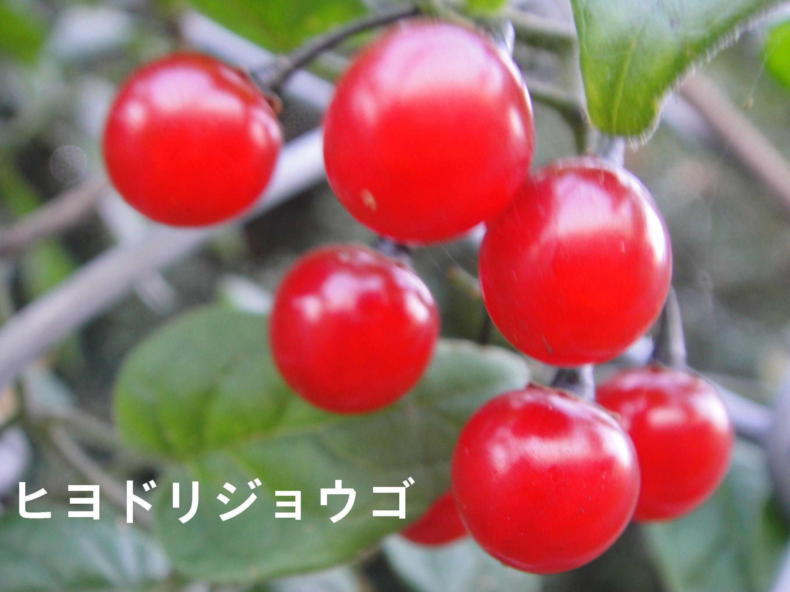 H23年11月度植物調査_c0108460_16542466.jpg