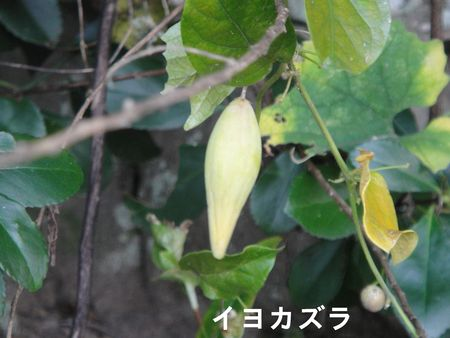H23年11月度植物調査_c0108460_17182834.jpg