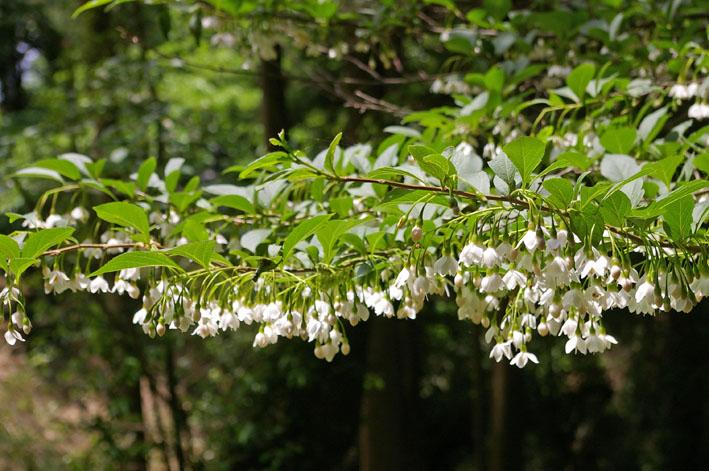 六国見山伐採ヒノキ後始末④紅葉とエゴノキの植樹準備OK_c0014967_8452034.jpg