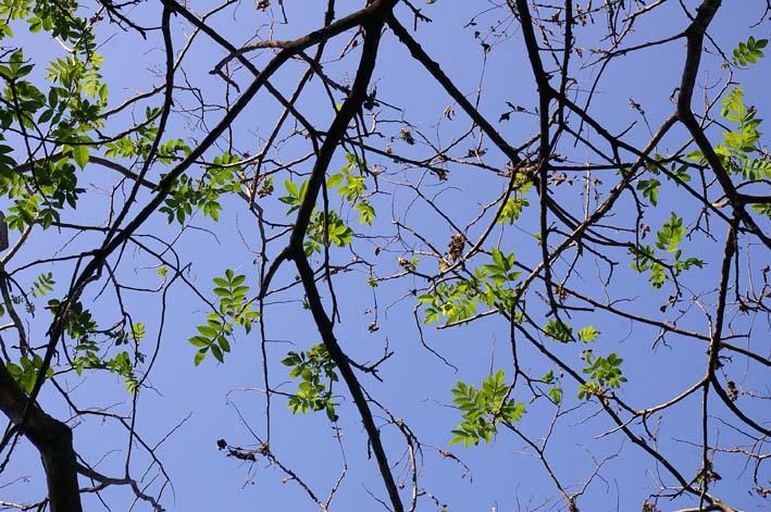六国見山伐採ヒノキ後始末④紅葉とエゴノキの植樹準備OK_c0014967_9285859.jpg