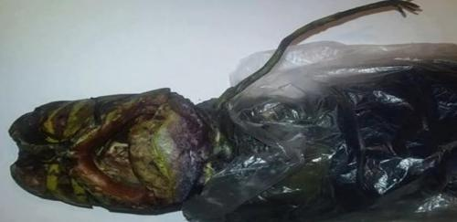 ロシアの婦人がエイリアン死体を捕獲!?:未知のタイプのエイリアン!?_e0171614_1363357.jpg