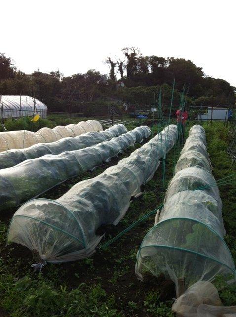 今朝はブロッコリー&カリフラワーのネットを外し・・蚕豆&えんどう豆の畝に_c0222448_16363237.jpg