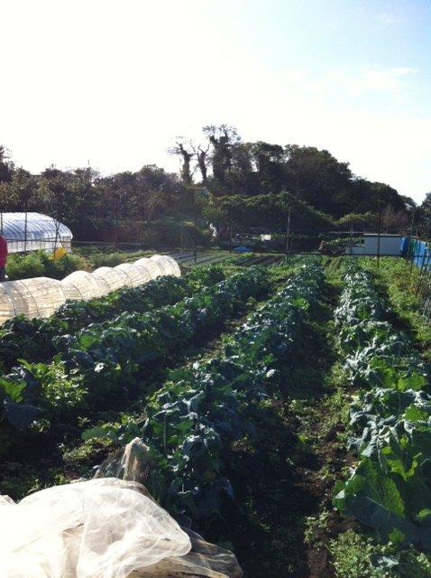 今朝はブロッコリー&カリフラワーのネットを外し・・蚕豆&えんどう豆の畝に_c0222448_16365224.jpg