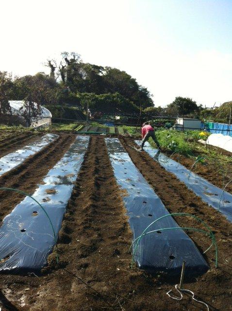 今朝はブロッコリー&カリフラワーのネットを外し・・蚕豆&えんどう豆の畝に_c0222448_1637110.jpg