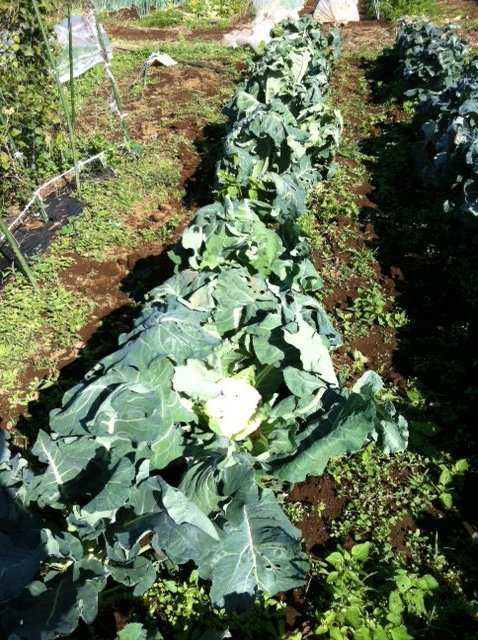 カリフラワー&ブロッコリー収穫始めます・・・。_c0222448_16514276.jpg