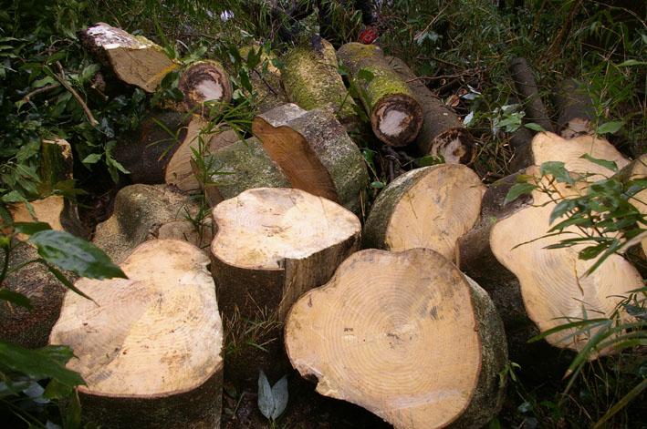 六国見山森林公園に切り倒されたスギがそのまま放置_c0014967_1933292.jpg