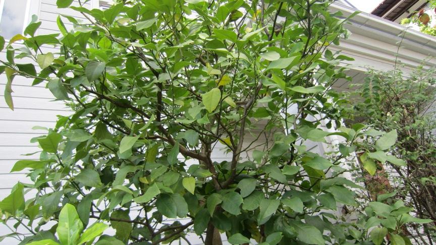 レモンの収穫_b0214473_1410429.jpg